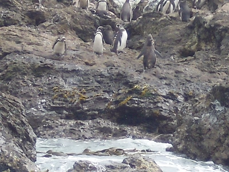 TOUR CHILOE ISLAND & PUÑIHUIL PENGUIN COLONY  (NORTHWEST SIDE OF THE ISLAND)